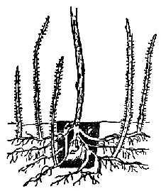 Омоложение куста малины
