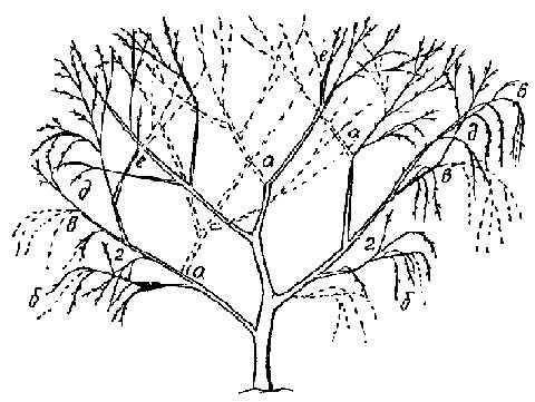 Обрезка кустовидной вишни в период плодоношения (общая схема).  Пунктиром указаны вырезаемые части дерева.